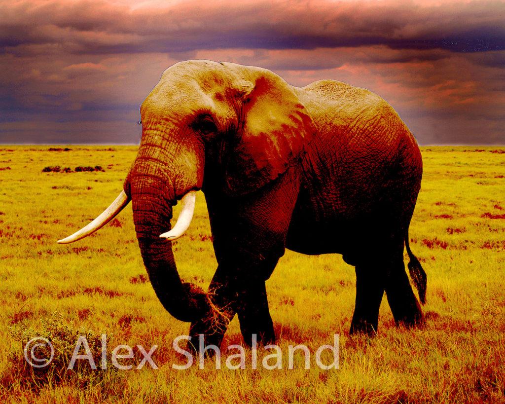 elephant walking under dark clouds