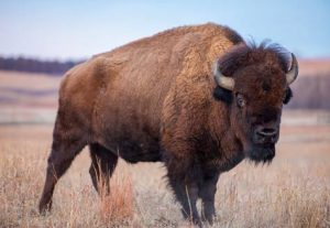 Great Range Bison Preservation