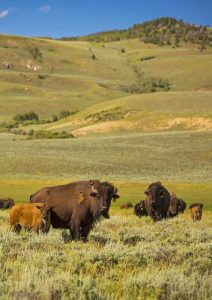 Bison Welfare