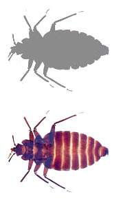 canine bed bug detection photo of bed bug