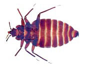 bed bug in taxi cabs