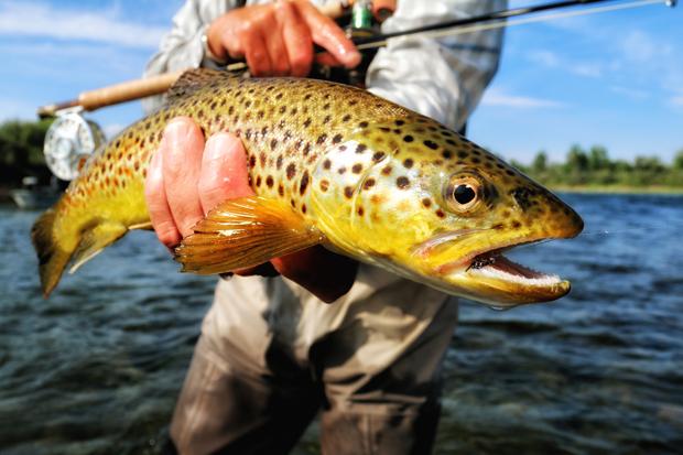 Bighorn Brown trout