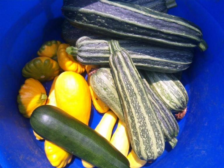 https://secureservercdn.net/192.169.221.188/93a.d84.myftpupload.com/wp-content/uploads/2017/03/first-summer-squash-harvest.jpg