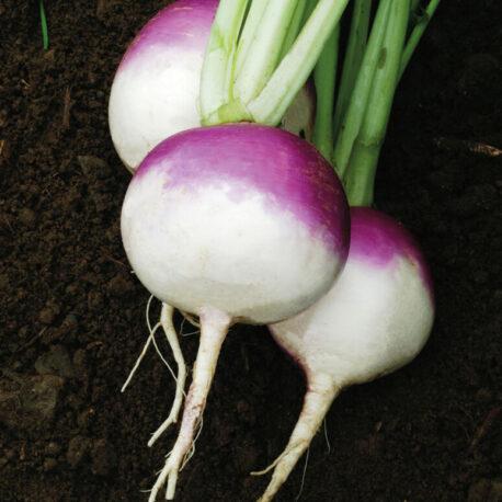 PTWG turnip