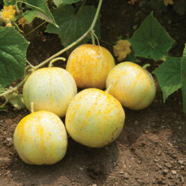 Seedling – Cucumber, Lemon