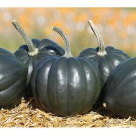 Seedling – Winter Squash, Tiptop Acorn