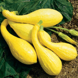 Seedling – Summer Squash, Yellow Crookneck