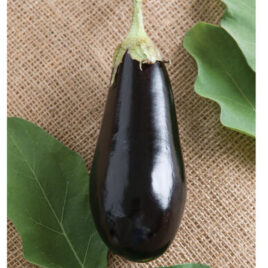 Seedling – Eggplant, Traviata