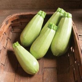 Seedling – Zucchini, Magda
