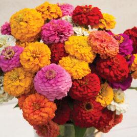 Seedling – Flower, Oklahoma Formula Zinnia