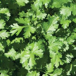 Seedling – Herb, Calypso Cilantro 4-PACK