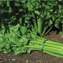Seedling, Celery, Tango