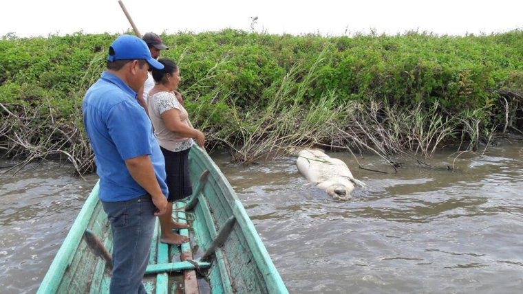 Siguen muriendo manatíes en Tabasco y Pemex se deslinda