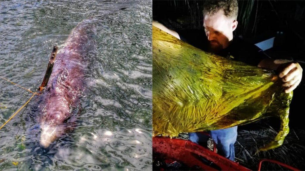 Encuentran en Filipinas ballena muerta con 40 kilos de plástico en el estómago