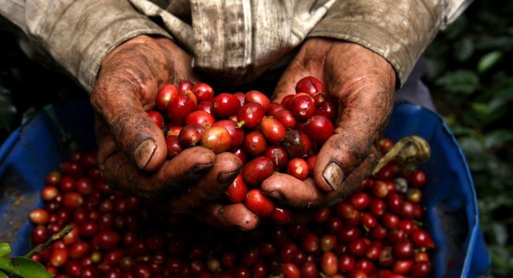 ¿Se acabará el café? Países cafetaleros entran en crisis por falta de mano de obra