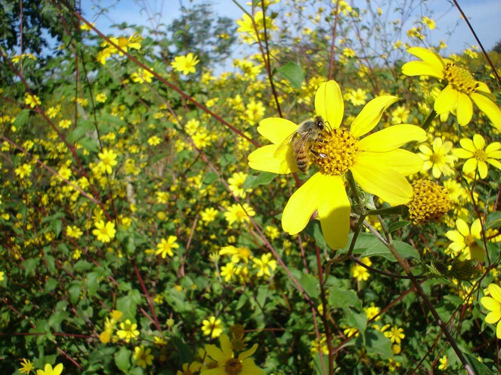Floración de tajonal favorecerá la producción de miel en la Península de Yucatán