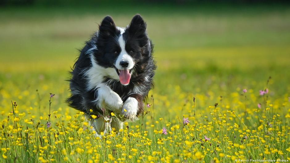 Esta es la raza de perros más inteligente del mundo