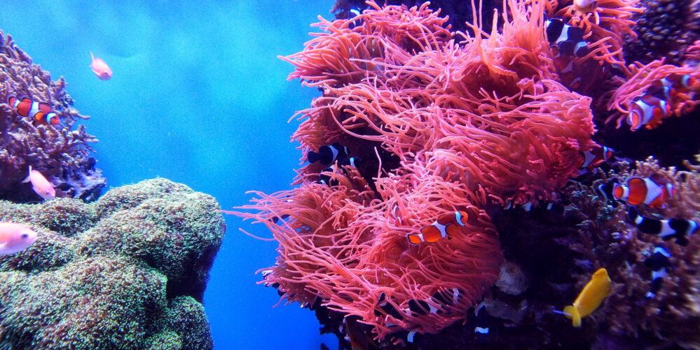 Por aumento de temperatura en el mar se perdió el 15% de corales en océanos, el Caribe de los más afectados
