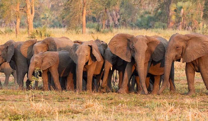 Ante la brutal caza furtiva, algunos elefantes están evolucionando para no tener colmillos