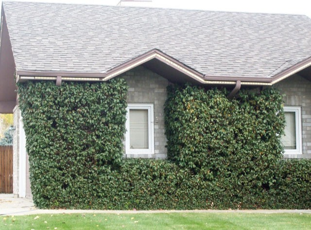 What not to plant: the invasive vine