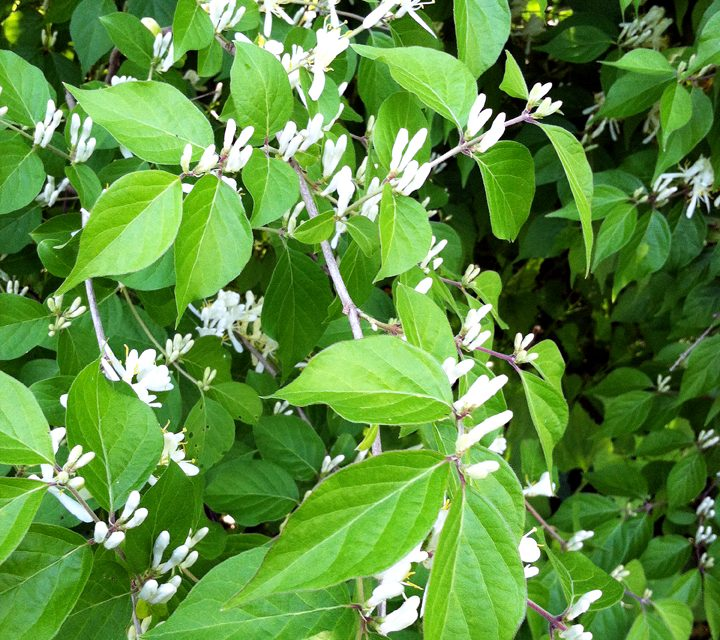 Identifying, controlling and alternatives to bush honeysuckle