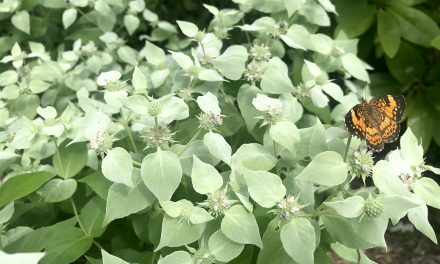 Buzz plant: Mountain mint