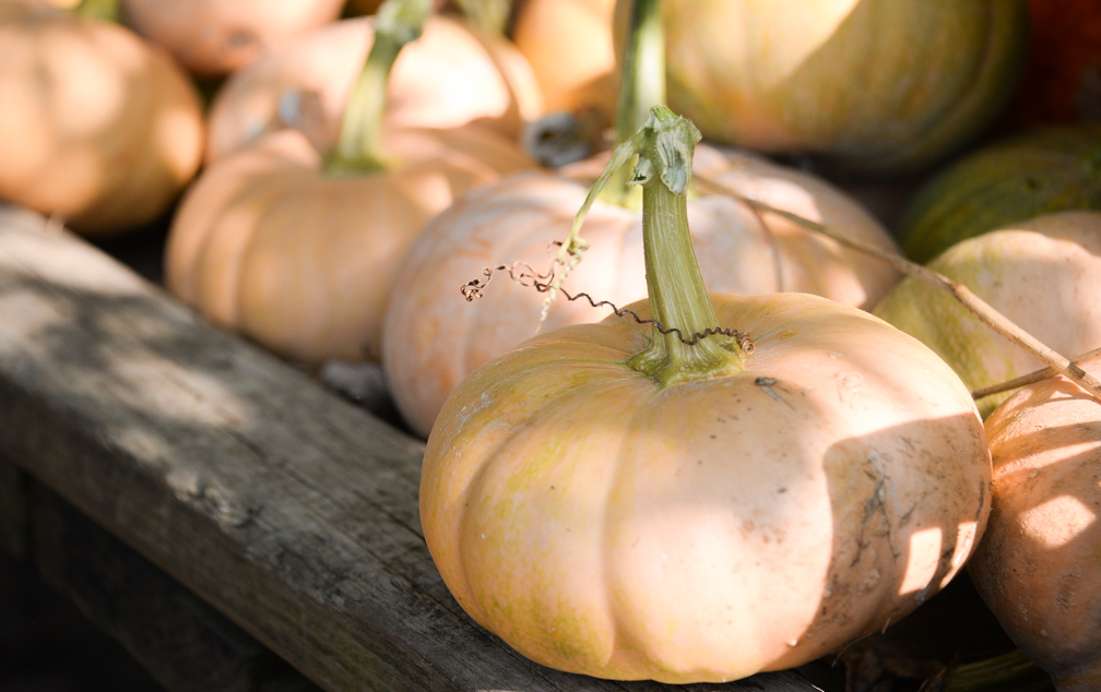 Pumpkin season means more than just pie and lattes