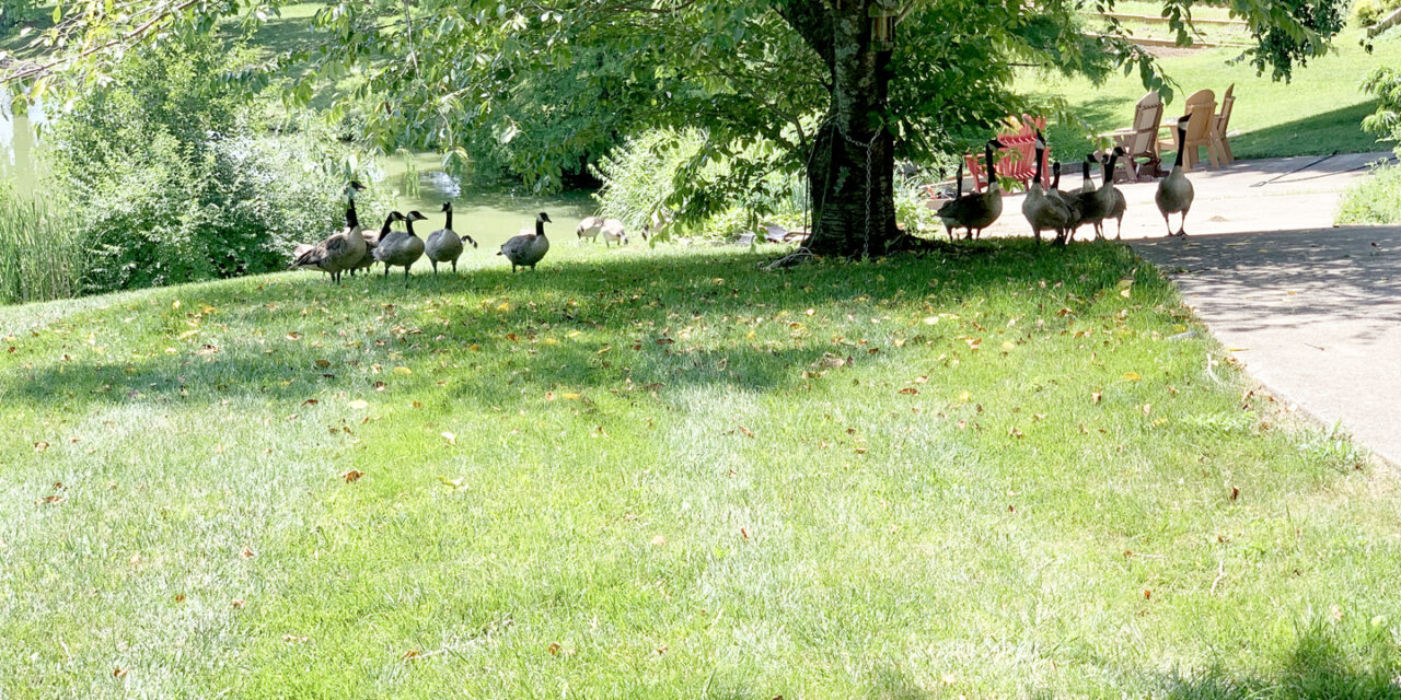 What is good for geese may be bad for your yard