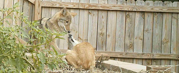 Coyotes Interacting