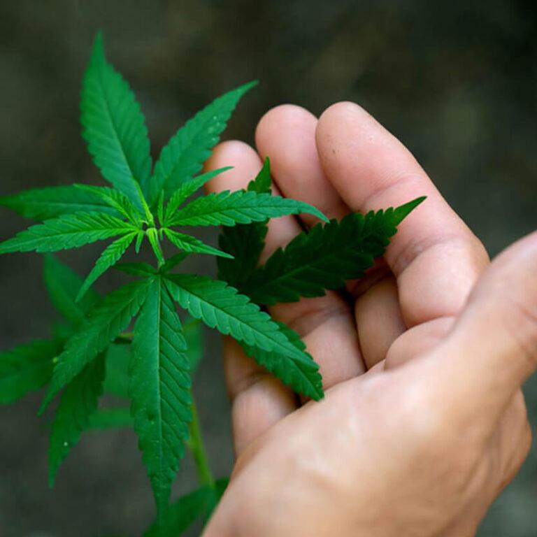 hand holding marijuana square (1)