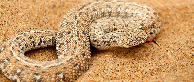 Sand Vipers