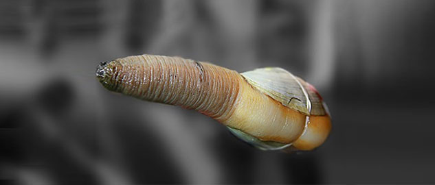 Geoduck is mostly found south africa