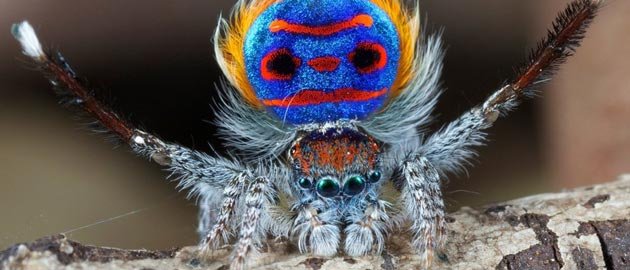 5 Flashy Facts About Peacock Spiders