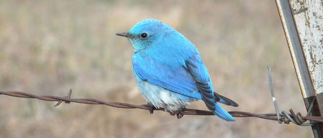 10 Facts about Mountain Bluebird