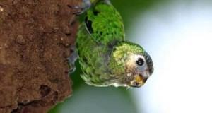 Worlds Smallest Parrot – Pygmy Parrot
