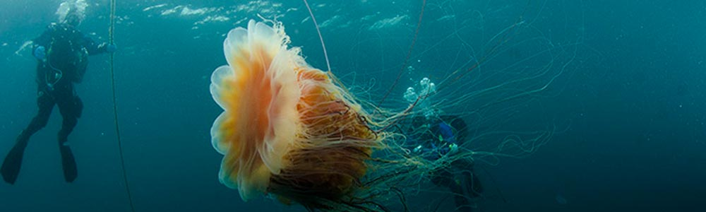 Facts About the Lion's Mane Jellyfish