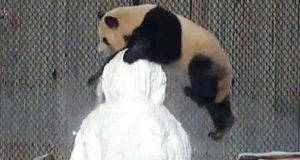 This Panda Wants His Own Snowman!!