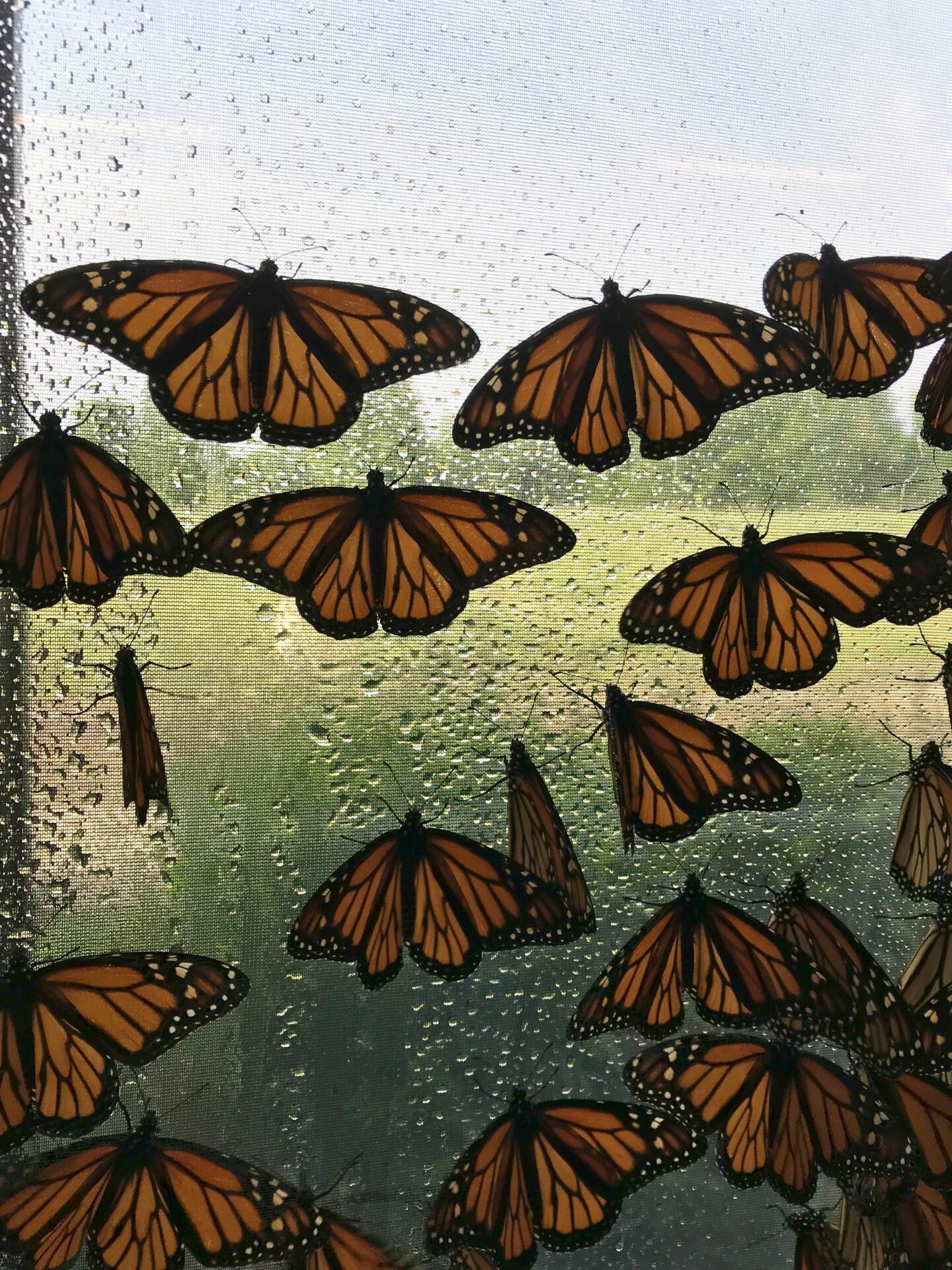 Monarchs in BioTent