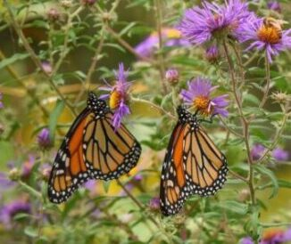 asters with monarchs