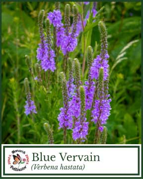 Blue Vervain - Pollinator Zone Seed Mix