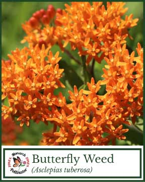 Butterfly Weed - Pollinator Zone Seed Mix