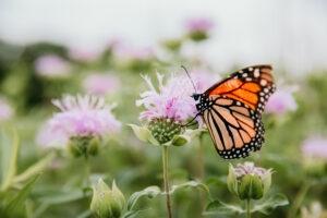 Monarch on Pollinator