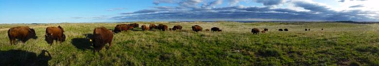 Black Kettle Buffalo herd
