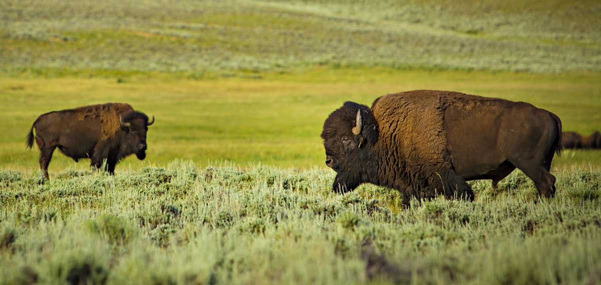 About Bison photo