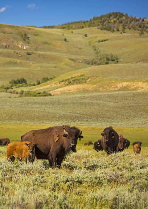 Bison Welfare