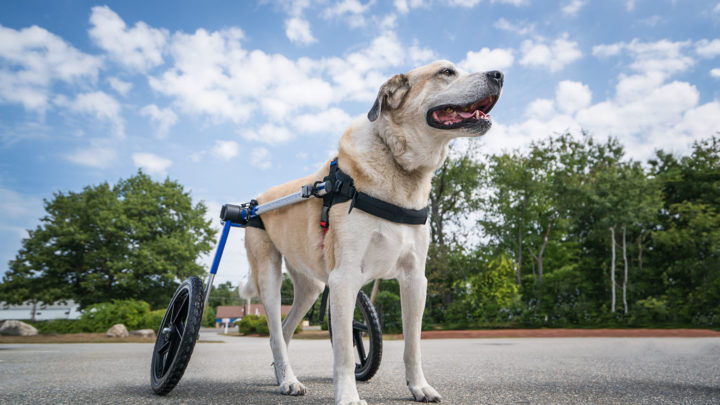 Dog in a wheel chair