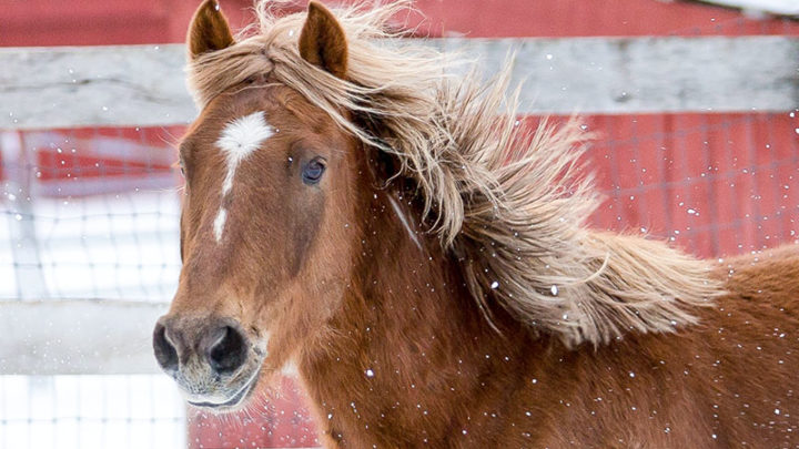 Captain is a mustang captured from the wild by the Bureau of Land Management last year and is now being trained at Live and Let Live Farm. Photos by Mike Hanson Photography.