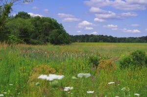 A photograph of an one-acre sculpted wet-meadow detention area, filled with tall wetland and meadow species. Several flowers are in bloom.