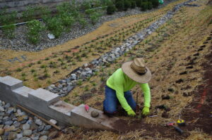 In process construction of the bioswale. A worker in a neon green shirt and straw hat is kneeling to plant a plug along the bioswale banks. Already planted plugs are seen in the background.