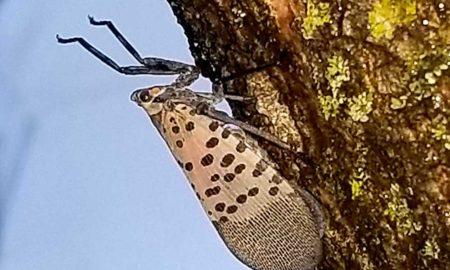 Arborjet Lanternfly